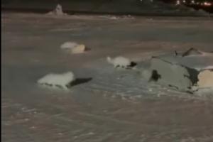 Норильск наводнили песцы  Они берут пищу прямо из рук.