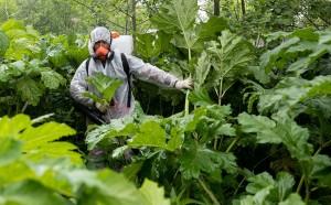 Борщевик — сорное растение семейства зонтичных, насчитывает около 70 видов.