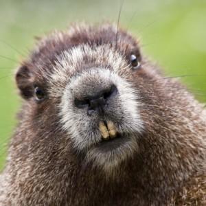 В столичном зоопарке проснулись сурки Обычно зверьки просыпаются в начале марта.