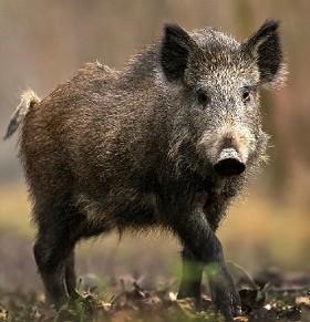 Были обнаружены 9 трупов диких кабанов. У всех девяти кабанов выявлен возбудитель вируса Африканской чумы свиней.
