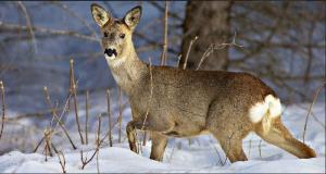 В Жигулевском заповеднике пересчитали зверей