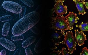 Ученые из МГУ совместно с коллегами из Германии и Швейцарии обнаружили в митохондриях животных клеток специальный механизм, препятствующий старению.