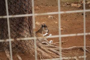Тигрица Надя из зоопарка Нью-Йорка заразилась коронавирусом