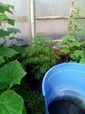 В Самарском регионе местный житель выращивал на своем приусадебном участке коноплю