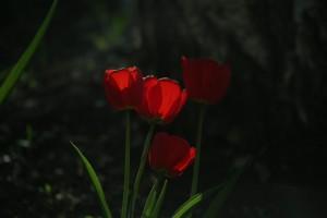 В Самаре направят 2,6 млн рублей на покупку луковиц тюльпанов