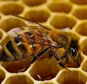 Нитрофураны – противомикробные препараты, использующиеся в пчеловодстве для лечения и профилактики бактериальных болезней пчел.