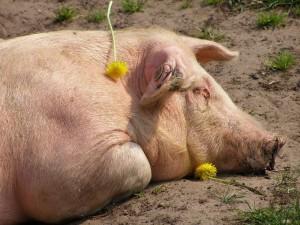 В Самарской области зарегистрирован еще один очаг африканской чумы свиней