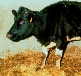 Заражение человека происходит при контакте с животными-носителями или при употреблении в пищу зараженных продуктов: сырого молока, сыра, изготовленного из непастеризованного молока.