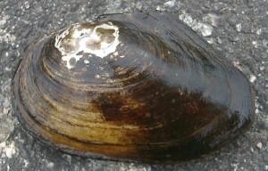 Главное сейчас – не допустить, чтобы эти моллюски пробрались в другие реки, отмечает ученый.