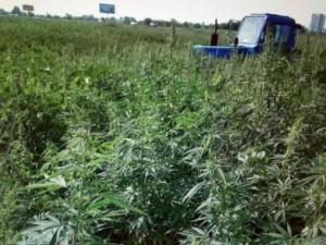 В Самаре уничтожено более 3 гектаров конопли