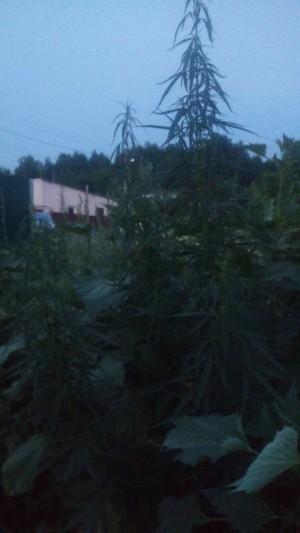 """Листья """"для лечебного отвара"""" у жительницы области отказались марихуаной"""