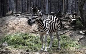 Британские зоологи выяснили, что полоски на шкурах зебр действуют на атакующих их кровососущих насекомых не так, как предполагали раньше ученые.
