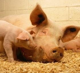 В Самарской области выявлен еще один очаг африканской чумы свиней