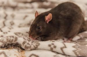 Крыса из Сызрани стала известна на всю страну