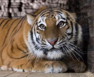 День амурского тигра отметят в Самарском зоопарке