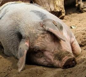 Диагнозподтвердился у пяти домашних свиней, четыре из которых погибли.
