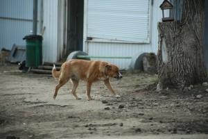 В Самарской области в Шигонском и Алексеевском районах введен карантин по бешенству