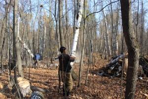 На территории Ново-Буянского лесничества идет уборка неликвидной древесины на площади 64 га.