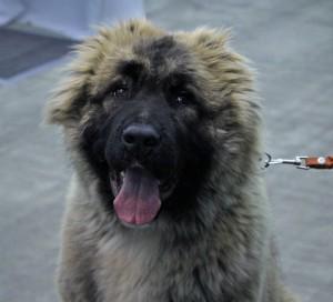 В России хотят обязать владельцев крупных собак проходить курсы кинологов