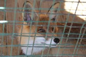 В Самарской области лисы начали выходить к людям