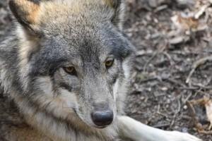 В лесах Тамбовской области осталось всего два волка