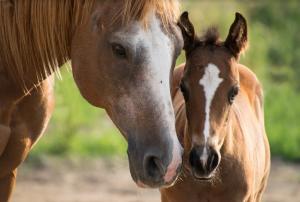 Нападения на лошадей воФранциипродолжаются, в стране ведется около сотни расследований по данным делам, сообщил министр сельского хозяйства Жюльен Денорманди.