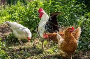 В эпизоотическом очаге была проведена дезинфекция всех птицеводческих помещений и дворовой территории.