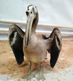 Самарцев приглашают в зоопарк посмотреть на пеликана