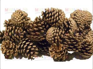В Самарской области заготовили 24 тонны шишек. До Нового года из них получат 240 килограммов семян сосны обыкновенной. Для этого запасы отправляют на шишкосушилку.