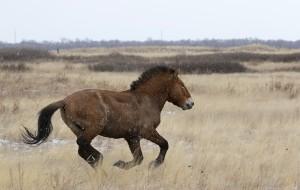 Жеребца лошади Пржевальского можно увидеть в Самарском зоопарке