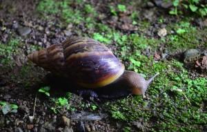 У данного вида улитки, помимо ноги, в пищу употребляются еще печень и икра.