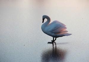В питомнике Самарского зоопарка спасают лебедей