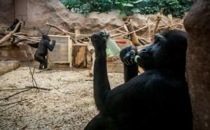 Это первый известный случай передачи вируса человекообразным обезьянам.