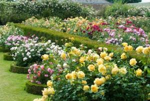 Чайно-гибридные розы были выведены во Франции два века назад. Однако популярность к ним пришла только в двадцатом веке.