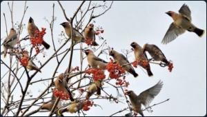 Но радоваться весне еще рано, синоптики грозят нам почти неделей морозов. Да и прилетели птицы не с юга, а с севера: стая свиристелей поселились на рябине и лакомятся ягодами.