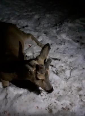 В Тольятти мужчина спас сбитую косулю