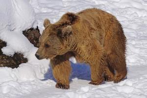 ВЦИОМ выяснил у россиян, какое животное лучше всего олицетворяет страну.