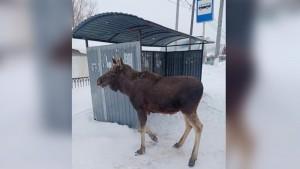 Из-за холодов в Самарской области лось пришел к людям