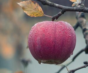 Ученые выяснили, как употребление яблок влияет на развитие памяти у человека.