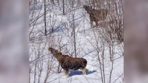 В Самарской области лоси стали приходить к людям за кормом