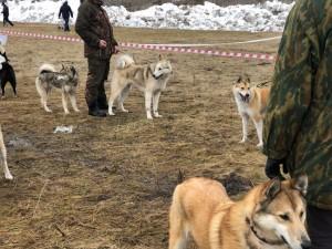 На выставке были представлены все породы охотничьих собак из Самарской области и близлежащих регионов.