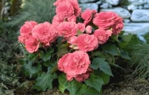 Инструкция, как правильно ухаживать за цветком Бегония клубневая. Фото, интересные факты, правила пересадки и размножения, рекомендации от флористов.