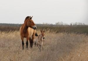 В сафари-парке Самарского зоопарка у лошадей Пржевальского появился жеребенок