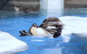 В самарском океанариуме живет семья пингвинов Гумбольдта – редкий краснокнижный вид, который представлен только нескольких океанариумах страны.
