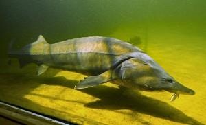 В ГосДуме предложили ввести госмонополию на ловлю и сбыт осетровых рыб