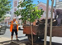 Идёт высадка деревьев.На данный момент посажен уже 21 каштан, с учетом планов на 26 мая – улицу украсят еще восемь саженцев.