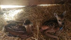 В Самарской области спасли обезвоженных новорожденных косулят