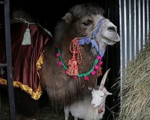 Всемирный день верблюда отметит Самарский зоопарк