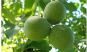 Биологи Самарского университета подали патент на грецкие орехи