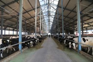 Новый молочный комплекс был построен за 1,5года. Здесь установлен современный молочно-доильный блок, который способен увеличить производительность фермы в 2раза.